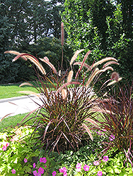 Purple Fountain Grass (Pennisetum setaceum 'Rubrum') at Good Earth Garden Market