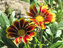 Kiss Golden Flame Gazania (Gazania 'Kiss Golden Flame') at Good Earth Garden Market