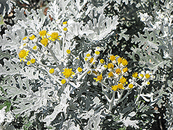 Silver Dust Dusty Miller (Senecio cineraria 'Silver Dust') at Good Earth Garden Market