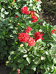 Figaro™ Red Shades Dahlia (Dahlia 'Figaro Red Shades') at Good Earth Garden Market