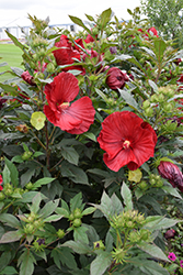 Cranberry Crush Hibiscus (Hibiscus 'Cranberry Crush') at Good Earth Garden Market