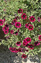 Superbells® Blackberry Punch Calibrachoa (Calibrachoa 'Superbells Blackberry Punch') at Good Earth Garden Market