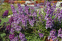 AngelMist® Spreading Blue Angelonia (Angelonia angustifolia 'AngelMist Spreading Blue') at Good Earth Garden Market