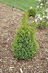 Green Mountain Boxwood (Buxus 'Green Mountain') at Good Earth Garden Market