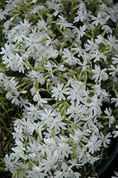 Snowflake Phlox (Phlox subulata 'Snowflake') at Good Earth Garden Market