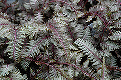 Regal Red Painted Fern (Athyrium nipponicum 'Regal Red') at Good Earth Garden Market