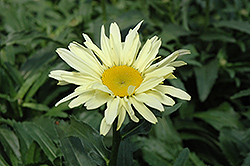 Banana Cream Shasta Daisy (Leucanthemum x superbum 'Banana Cream') at Good Earth Garden Market