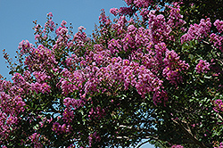 Catawba Crapemyrtle (Lagerstroemia indica 'Catawba') at Good Earth Garden Market