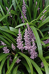 Lily Turf (Liriope muscari) at Good Earth Garden Market
