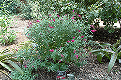 Miss Ruby Butterfly Bush (Buddleia davidii 'Miss Ruby') at Good Earth Garden Market
