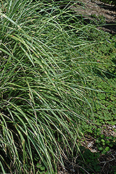 Little Zebra Dwarf Maiden Grass (Miscanthus sinensis 'Little Zebra') at Good Earth Garden Market