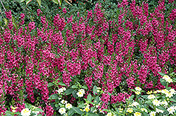 Archangel™ Dark Rose Angelonia (Angelonia angustifolia 'Archangel Dark Rose') at Good Earth Garden Market