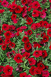 Easy Wave Red Velour Petunia (Petunia 'Easy Wave Pink Passion') at Good Earth Garden Market