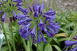 Blue Bayou Agapanthus (Agapanthus 'Blue Bayou') at Good Earth Garden Market