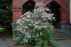 Elf Mountain Laurel (Kalmia latifolia 'Elf') at Good Earth Garden Market
