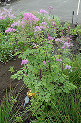 Black Stockings Meadow Rue (Thalictrum 'Black Stockings') at Good Earth Garden Market
