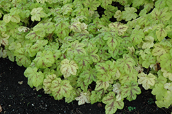 Yellowstone Falls Foamy Bells (Heucherella 'Yellowstone Falls') at Good Earth Garden Market