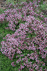 Magic Carpet Thyme (Thymus serpyllum 'Magic Carpet') at Good Earth Garden Market