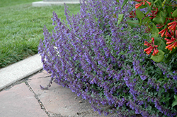Six Hills Giant Catmint (Nepeta x faassenii 'Six Hills Giant') at Good Earth Garden Market