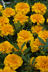 Bonanza Gold Marigold (Tagetes patula 'Bonanza Gold') at Good Earth Garden Market