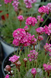 Splendens Sea Thrift (Armeria maritima 'Splendens') at Good Earth Garden Market
