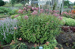 Baby Joe Dwarf Joe Pye Weed (Eupatorium dubium 'Baby Joe') at Good Earth Garden Market