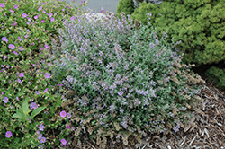 Cat's Meow Catmint (Nepeta x faassenii 'Cat's Meow') at Good Earth Garden Market