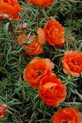 Sundial Orange Portulaca (Portulaca grandiflora 'Sundial Orange') at Good Earth Garden Market