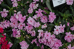 Bounce™ Lilac Impatiens (Impatiens 'Bounce Lilac') at Good Earth Garden Market