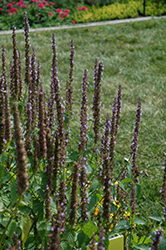 Little Adder Hyssop (Agastache rugosa 'Little Adder') at Good Earth Garden Market