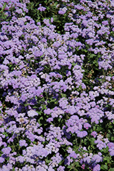 High Tide Blue Flossflower (Ageratum 'High Tide Blue') at Good Earth Garden Market