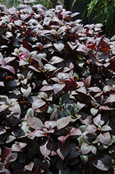Little Ruby Alternanthera (Alternanthera dentata 'Little Ruby') at Good Earth Garden Market