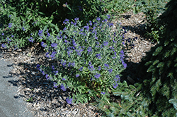First Choice Caryopteris (Caryopteris x clandonensis 'First Choice') at Good Earth Garden Market