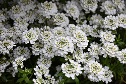 Snowflake Candytuft (Iberis sempervirens 'Snowflake') at Good Earth Garden Market
