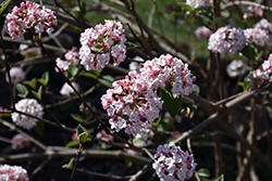 Koreanspice Viburnum (Viburnum carlesii) at Good Earth Garden Market