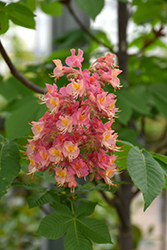 Fort McNair Red Horse Chestnut (Aesculus x carnea 'Fort McNair') at Good Earth Garden Market