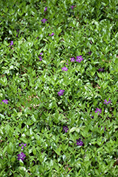 Burgundy Periwinkle (Vinca minor 'Atropurpurea') at Good Earth Garden Market