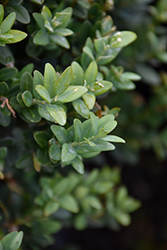Newport Blue Boxwood (Buxus sempervirens 'Newport Blue') at Good Earth Garden Market