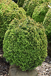 Dwarf English Boxwood (Buxus sempervirens 'Suffruticosa') at Good Earth Garden Market