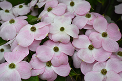 Stellar Pink Flowering Dogwood (Cornus 'Stellar Pink') at Good Earth Garden Market