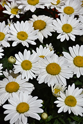 Snowcap Shasta Daisy (Leucanthemum x superbum 'Snowcap') at Good Earth Garden Market
