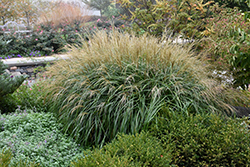 Adagio Maiden Grass (Miscanthus sinensis 'Adagio') at Good Earth Garden Market