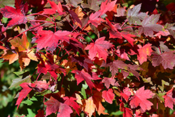 Redpointe Red Maple (Acer rubrum 'Redpointe') at Good Earth Garden Market
