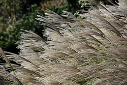Gracillimus Maiden Grass (Miscanthus sinensis 'Gracillimus') at Good Earth Garden Market