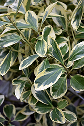 Silver Queen Euonymus (Euonymus japonicus 'Silver Queen') at Good Earth Garden Market