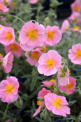 Wisley Pink Rock Rose (Helianthemum nummularium 'Wisley Pink') at Good Earth Garden Market
