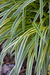 Silvery Sunproof Variegated Lily Turf (Liriope muscari 'Silvery Sunproof') at Good Earth Garden Market