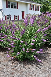 Peacock™ Butterfly Bush (Buddleia davidii 'Peakeep') at Good Earth Garden Market