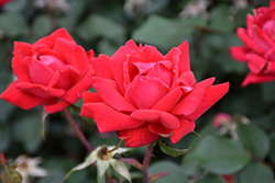 Double Knock Out® Rose (Rosa 'Radtko') at Good Earth Garden Market